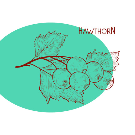 Hawthorn. Plant. Branch, berry, leaves. Sketch.
