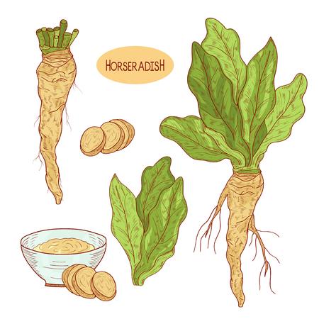 Horseradish. Sketch.Root, leaves, slice. Monochrome. Set. Color pattern.