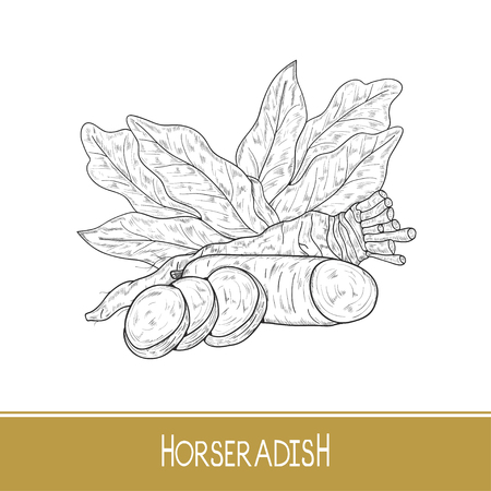 Horseradish. Sketch. Root, leaves, slice. Monochrome.