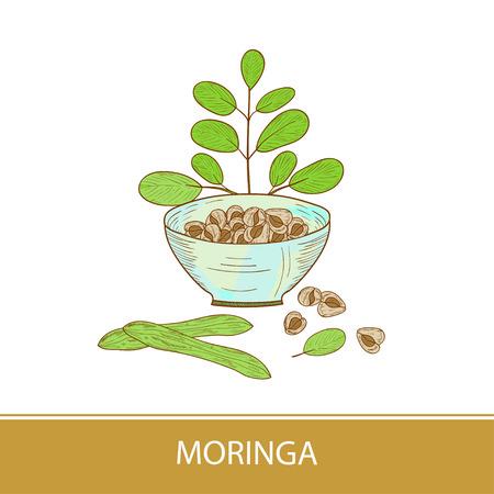 Moringa. Plant. Seed, bowl. Color illustration on white background. Sketch. Illustration