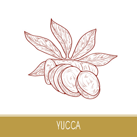 Yucca. Root, leaves. Sketch. On a white background.