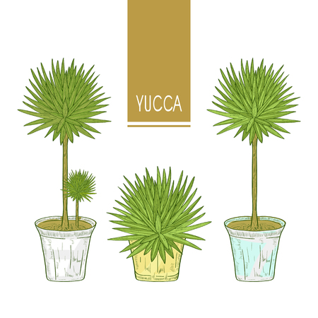 Yucca. Plant in the pot. Set. Sketch. Color pattern