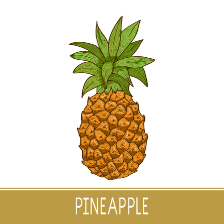A pineapple. Tropical plant. Sketch. Color.