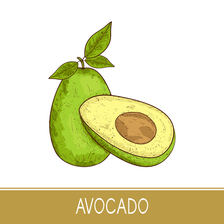 Avocado. Tropical Fruit. Sketch. Color illustration on white background.