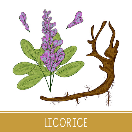 Licorice. Root, flower, leaves. Sketch. Monochrome. Set. Color