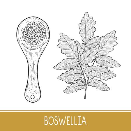 Boswellia. Plant. Scoop. Monochrome. Sketch.