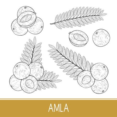 Amla. Fruit, leaf. Set. Sketch. Monochrome
