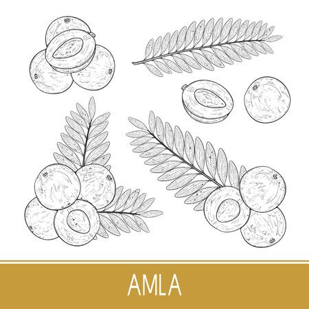 Amla. Obst, Blatt. Einstellen. Skizzieren. Einfarbig