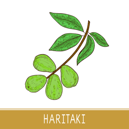 Haritaki. Terminalia chebula. Plant. Fruit, leaves, branch. Color