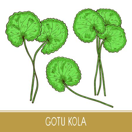 Gotu kola. Plant.  Leaves, stem. Monochrome. Sketch. On a white background. Set. Color Illustration