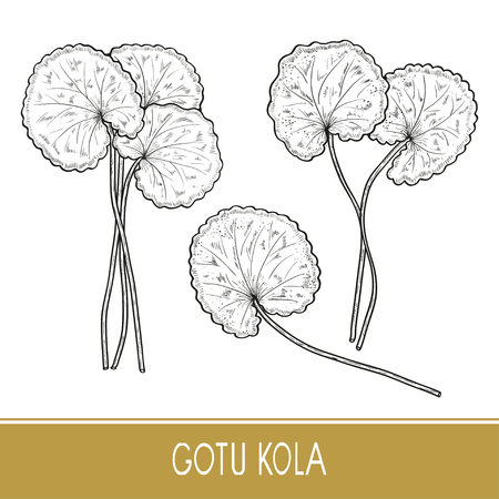 Gotu kola. Plant.  Leaves, stem. Monochrome. Sketch. On a white background. Set
