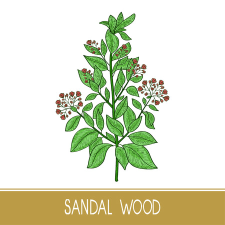 Sandal wood. Plant. A stem, leaf, flower. Color. Sketch.