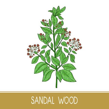 Sandal wood. Plant. A stem, leaf, flower. Color. Sketch.