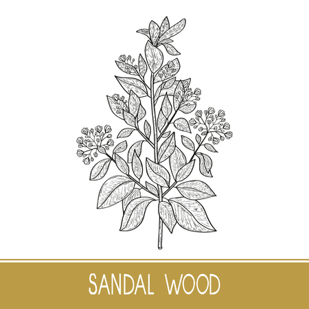 Sandal wood. Plant. A stem, leaf, flower. Monochrome. Sketch.