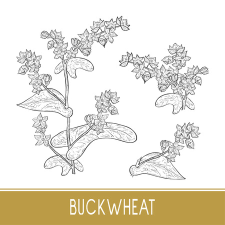 Buckwheat. Plant. Sketch. Monochrome. On a white background. Set
