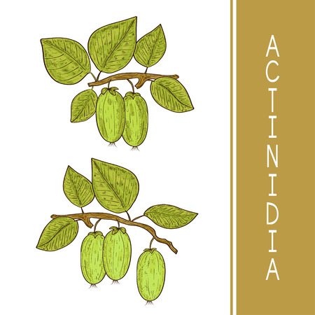 Actinidia. Fruit, leaves, branch. Color. Sketch. Set.
