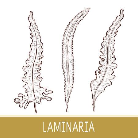 Laminaria. Seaweed. Set. monophonic. Sketch. Illustration