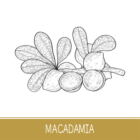 Macadamia. Plant. Leaf, branch, fruit. Sketch.