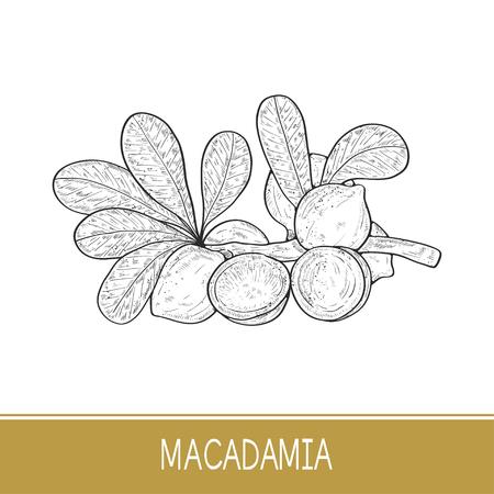 Macadamia. Plant. Leaf, branch, fruit. Sketch.