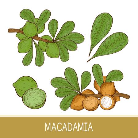 Macadamia. Plant. Leaf, branch, fruit. Sketch. Set. Color