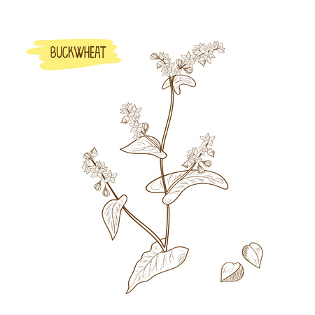 Buckwheat. Plant. Sketch. Monochrome. On a white background.