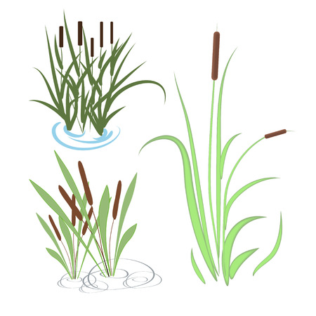 Bulrush, sedge. Set. Illustration