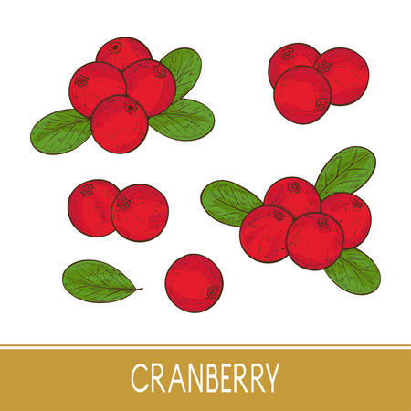 Cranberry. Berry, leaves. Set. Sketch.