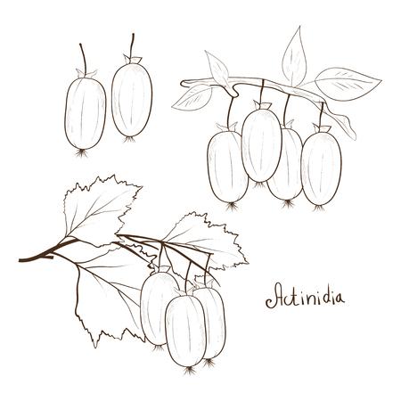 Actinidia. Monochrome image. Sketch. Set. 矢量图像