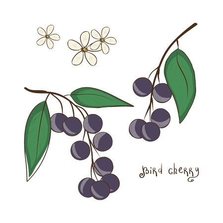 Prunus. Berries and flowers. Set. Sketch.