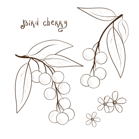 Bird-cherry. Black and white drawing. Berries and flowers. Sketch.