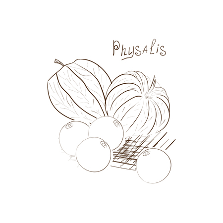 Physalis. Tone images on a white background. Sketch. Иллюстрация
