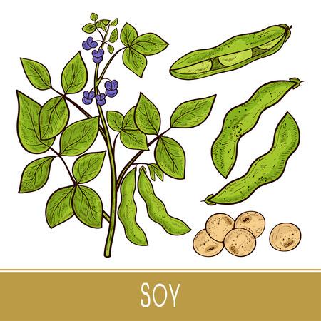 Soy. Plant. Stem, leaves, flowers, fruit, pod. Sketch. Monophonic. Set. Color