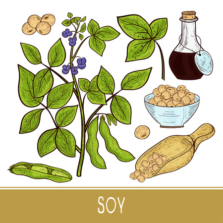 Soy. Plant. Stem, leaves, flowers, fruit. Bottle, scoop, bowl. Set. Color. Sketch.