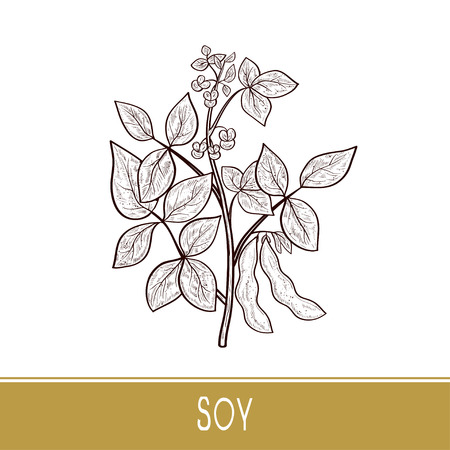Soy. Plant. Stem, leaves, flowers, fruit. Sketch. Monophonic.