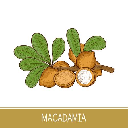 Macadamia. Plant. Leaf, branch, fruit. Sketch. Color