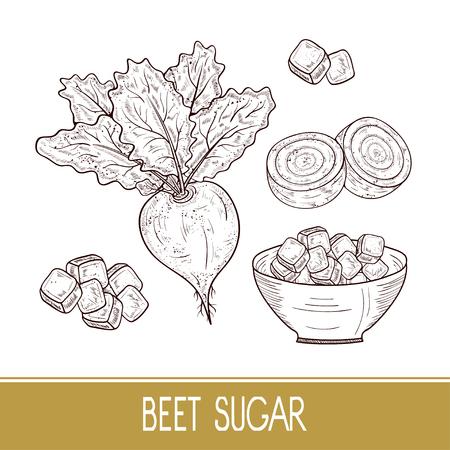 Sugar beet. Root, leaves, sugar, bowl. Set. Sketch. Monophonic. Illusztráció