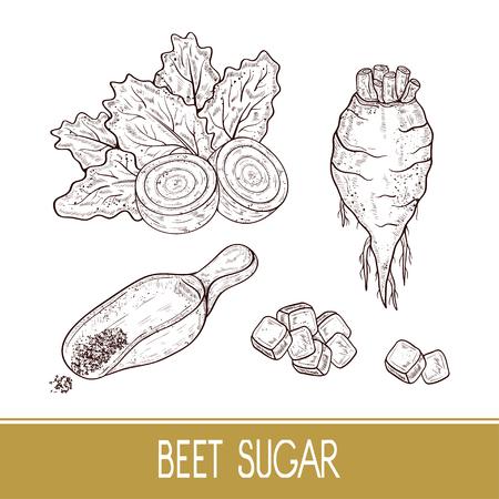 Sugar beet. Root, leaves, sugar, scoop. Set. Sketch. Monophonic.