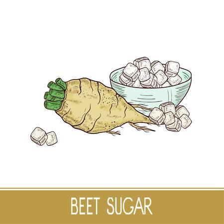 甜菜。根、砂糖、ボウル。セット。スケッチ。色