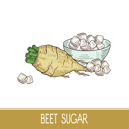 Sugar beet. Root, sugar, bowl. Set. Sketch. Color