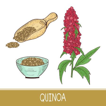 Quinoa. Plant. Spoon, bowl with seeds. Sketch. Set. Color