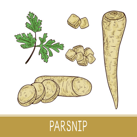 Parsnip. Vegetable. Root, sheet, piece. Set. Sketch. Color. On a white background.