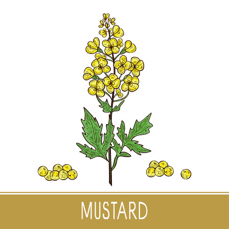 Mustard. Plant. Flowers, leaves, seed. Sketch. Set. Color  イラスト・ベクター素材