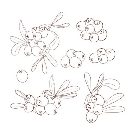 Sea buckthorn. Sketch. Drawing on a white background. Plain. Set. Illusztráció