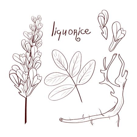 Licorice. Root, leaf, flower. Sketch. Set. Coloring.