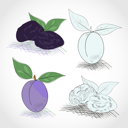 Prunes. Dried. Color and black-and-white drawing. Sketch. Set.