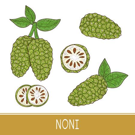 Noni. Fruit,  leaves. Sketch. Set. Color