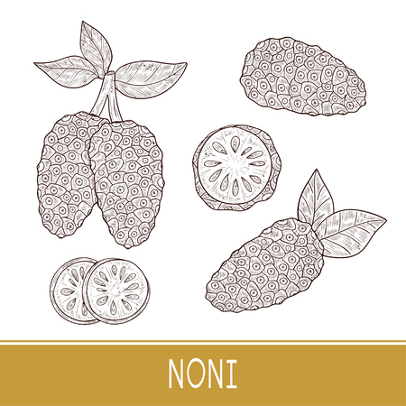 Noni. Fruit. fruit, leaves. Sketch. Set. Monophonic. Illustration