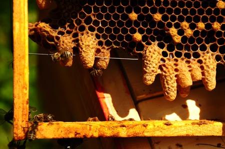 queen bee: Las abejas y la abeja reina en el peine