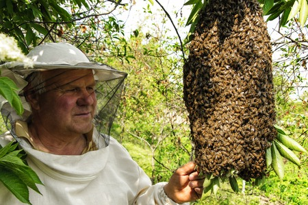 swarm: Bee keeper with a swarm of honeybees Stock Photo