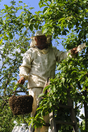 swarm: beekeeper holding a bee swarm, apiary, colony